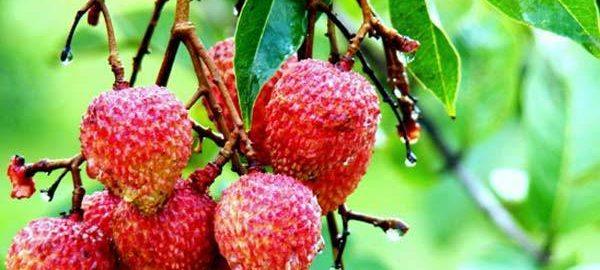 benefits-of-litchi-fruit-1435080008557